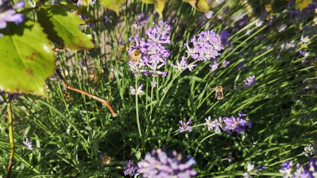Jugendfreizeiteinrichtung CHiP 77 - Lavendel im Garten